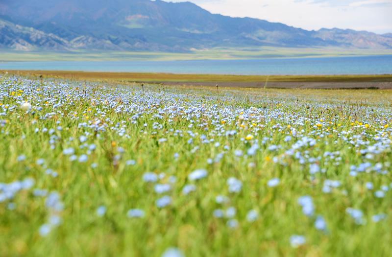 赛里木湖花的海洋