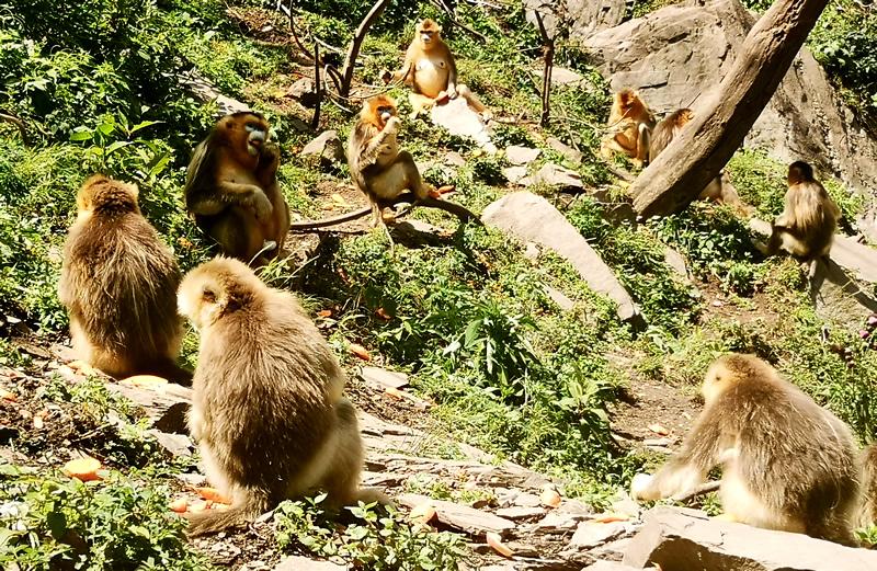 裕河自然保护区金丝猴